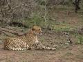 2016 - Afrique du Sud - Zulu Nyala Parc - Ermelo - Guépard
