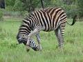 2016 - Afrique du Sud - Zulu Nyala Parc - Ermelo