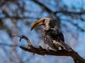 2016 - Afrique du Sud - Parc Kruger - Calao leucomèle