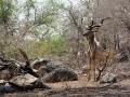 2016 - Afrique du Sud - Parc Kruger - Koudou