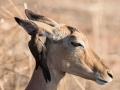 2016 - Afrique du Sud - Parc Kruger - Impala femelle