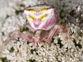 JMD-Araignée crabe.jpg